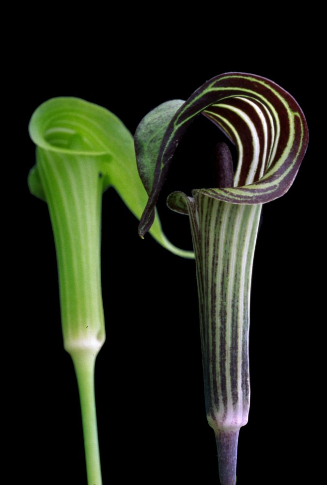 Jack in the Pulpits (Atomic Geography) From One to Another